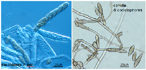 Spores of V. pirina.