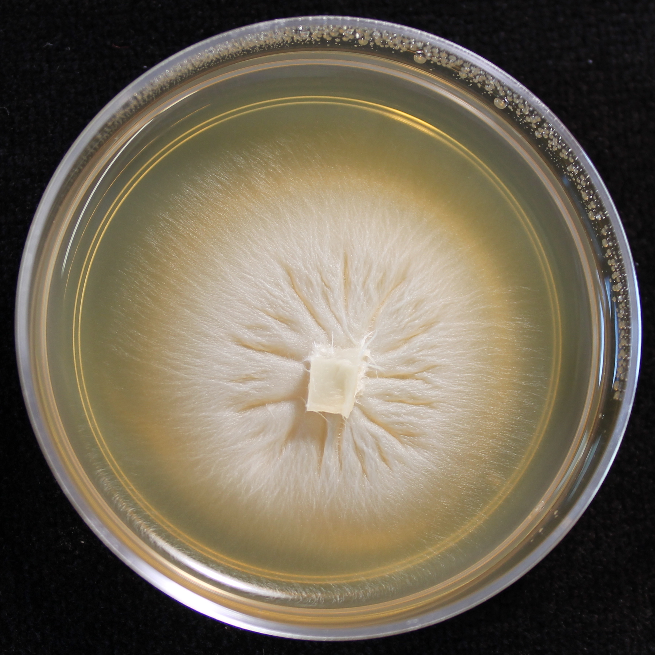 Photo credit: Jana M. U'Ren. Grown on 2% Malt Extract Agar.