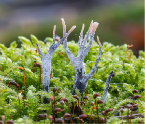 Stagshorn or Candlesnuff fungus (Xylaria hypoxylon) among moss,