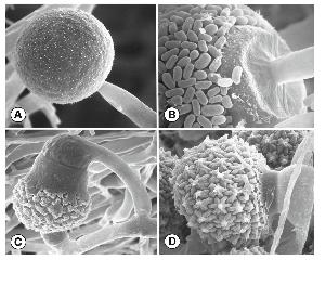 Mucor heterogamus: A) spherical multispored sporangia, B) a sporangial wall that deliquesces at maturity, revealing a columella, C and D) ornamented zygospores formed between suspensors that differ greatly in size. Photos by Kerry O'Donnell and Connie Robertson